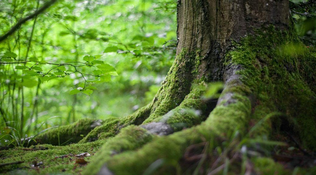Racine d'un gros arbre